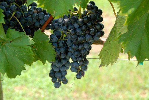 grapes-1583608_1920